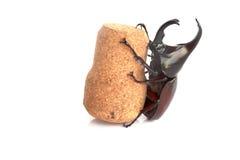 Stock Photo:Dynastinae hold on white background Stock Images