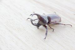 Stock Photo:Dynastinae hold on wood background Royalty Free Stock Image