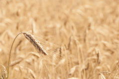 Stock Photo golden wheat field. Golden wheat ears wheat field in the background Royalty Free Stock Photography