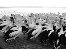 Stock Photo - Great White Pelican flock resting at water edge Royalty Free Stock Images