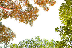 Stock Photo:Green and red treetops on white background Royalty Free Stock Image