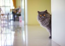 Stock Photo - Grey Kitty Hide. And seek cute see look Royalty Free Stock Photos
