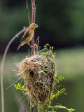 Stock Photo - Image of bird nest and Asian golden weaver Ploceu Stock Images