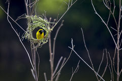 Stock Photo - Image of bird nest and Asian golden weaver. royalty free stock images