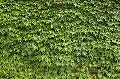Stock Photo of Ivy 1 Stock Image