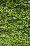 Stock Photo of Ivy 2 Royalty Free Stock Photo