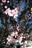 Stock photo of Japanese Cherry. Japanese Cherry (Prunus serrulata) - in bloom royalty free stock photos