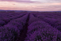 Stock Photo: Lavender fields. Beautiful image of lavender field. Summer sunset landscape, contrasting colors. Dark clouds, dramati Royalty Free Stock Photo