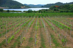 Stock Photo - little grapevine grow up. rows of vines lined Royalty Free Stock Photos