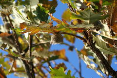 Stock Photo of Oak Tree with Acorn. The Bur Oak (Quercus macrocarpa), sometimes spelled Burr Oak, is a species of oak in the white oak section Quercus sect Royalty Free Stock Images
