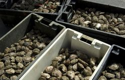 Stock Photo of Oyster Bins Royalty Free Stock Images