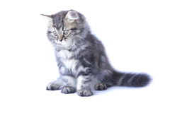 Stock Photo:Persian kitten, 2 months old, sitting in front of w Stock Photography