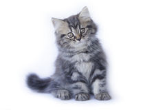 Stock Photo:Persian kitten, 2 months old, sitting in front of w Royalty Free Stock Photos