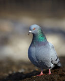 Stock photo of pigeon on blurred background Royalty Free Stock Photography
