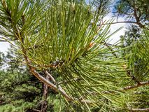 Close-up photo of pine branch. Stock photo of pine branch Stock Images