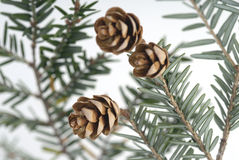 Stock Photo of Pine Cones Royalty Free Stock Photos