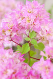 Stock Photo:Pink bougainvilleas background Royalty Free Stock Photo