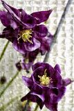 Stock Photo of Purple Columbine Royalty Free Stock Photo
