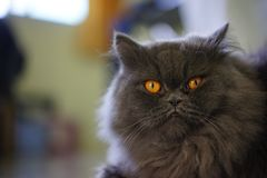 Stock Photo - Selective Focus Gray Cat. Looking cute stock photo