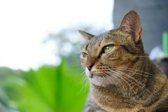 Stock Photo - Selective Focus Looking Cat. For someone give a food stock photography