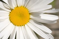 Stock Photo of a Shasta Daisy Royalty Free Stock Photography