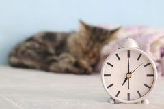 Stock Photo: small sleeping adorable cat with alarm clock Royalty Free Stock Photo