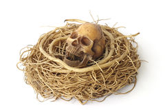 Stock Photo:Still life with skull in abandoned bird nest Royalty Free Stock Photo
