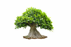 Stock Photo:Tree isolated on a white background Royalty Free Stock Photography