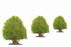 Stock Photo:Trees isolated Royalty Free Stock Images