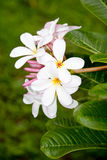 Stock Photo:white and yellow plumeria frangipani flowers with l Royalty Free Stock Images