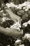 Stock Photo of Woman Picking Shasta Daisies Stock Photo