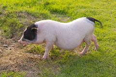 Stock Photo:Young pigs graze in green meadow Royalty Free Stock Images