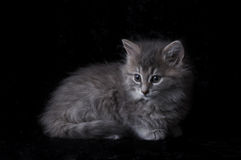 Stock Photograph of a Kitten. Fluffy grey kitten on black background Royalty Free Stock Images