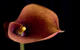 This is a stock photograph of lily. Red lily shot from the top on a black background Royalty Free Stock Photo