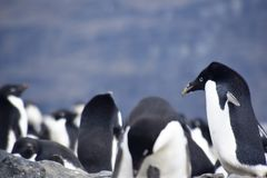 Penguins in Antarctica Stock Photography