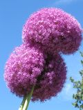 Purple puffy flower. A stock of purple puffy flowers Royalty Free Stock Image