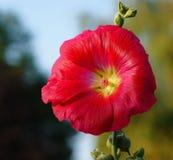 Stock Rose, Flower, Blossom, Bloom Stock Photos