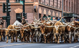 Stock Show Parade Bulls Royalty Free Stock Photography