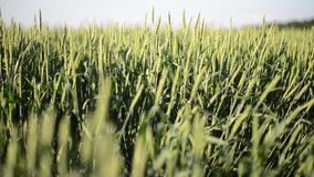 Wheat Swaying Strongly. This stock video features a wheat field during a windy day. The wheat shake vigorously from the passing wind. Use this clip to establish stock video footage