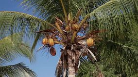 Stock Video Footage 1920х1080 Coconut Palm Breeze Tropical Nature Sky Yellow Royal. Trees, coconut palm, swaying branches of yellow coconut fruits on blue sky stock video