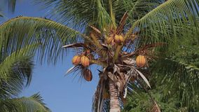 Stock Video Footage 1920х1080 Coconut Palm Breeze Tropical Nature Sky Yellow Royal. Trees, coconut palm, swaying branches of yellow coconut fruits on blue sky stock footage