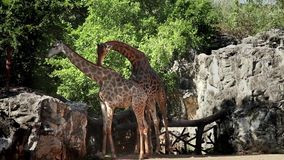 Stock Video Footage Animais Selvagens Giraffe 1920x1080 1080p Thailand summer vacation Travel Asia oriental stock footage