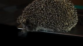 Stock Video Footage Hedgehog explores laptop Stock Photos