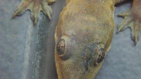 Stock Video Footage 1920x1080 Gecko Lizard Reptile Macro stock footage