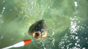 Fish hooked a fishing line stock video footage