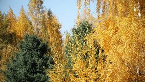 Yellow bright autumn landscape. This stock video shows a line of trees during autumn. The leaves on the trees are colored yellow and orange while some tree are stock video footage