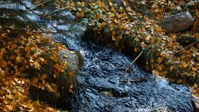 Stream Flows Through Autumn Leaves. This stock video shows a small mountain river flowing, strewn with fallen yellow leaves. This video can be used to establish stock video