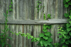 Stockade Fence with Plant Climbers. Weathered stockade fence with green plants / vines growing upon it Royalty Free Stock Photo