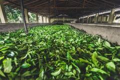 Stockage de feuilles de thé sur la plantation Le Sri Lanka Image libre de droits