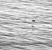 Stockente, die über das Wasser fliegt Stockfotos